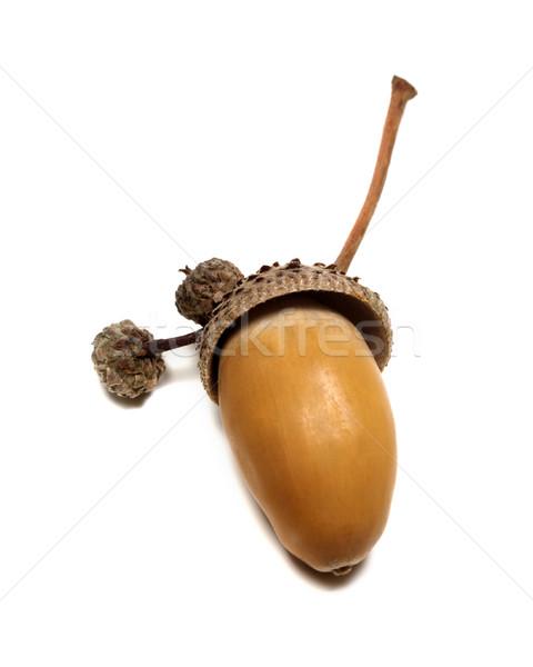 Autumn oak acorn on white Stock photo © BSANI