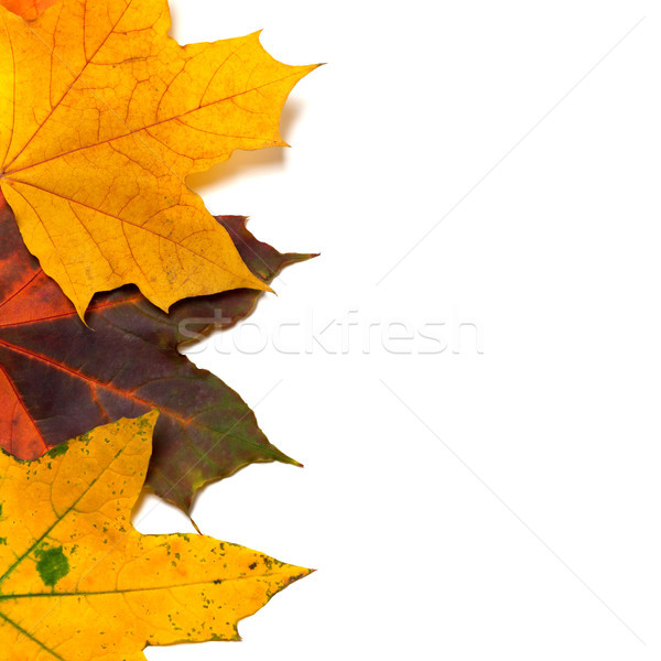 Autumnal multi colored maple-leafs Stock photo © BSANI