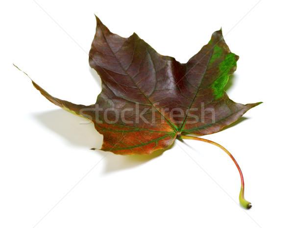 Najaar esdoornblad witte geïsoleerd Stockfoto © BSANI