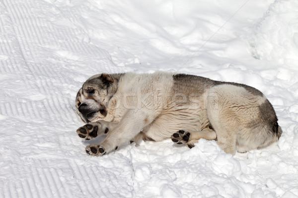 Perro dormir nieve montana hielo triste Foto stock © BSANI
