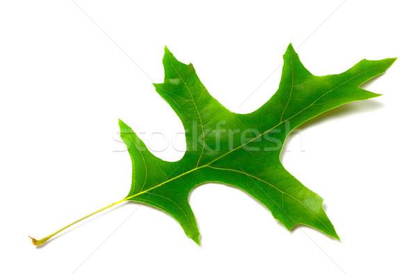 Green leaf of oak (Quercus palustris) Stock photo © BSANI