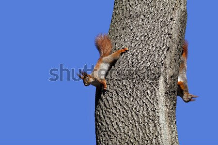Red squirrel play on tree Stock photo © BSANI