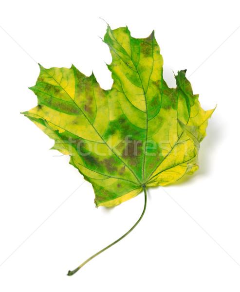 Yellowed maple-leaf Stock photo © BSANI