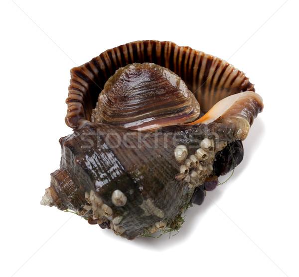 Veined rapa whelk Stock photo © BSANI