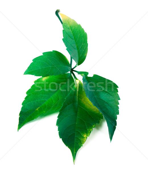 Green virginia creeper leaf  Stock photo © BSANI
