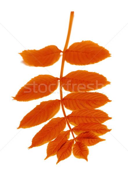 Autumn rowan leaves on white Stock photo © BSANI