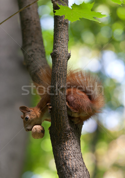 Red squirrel on tree with walnut in mouth, looking down Stock photo © BSANI