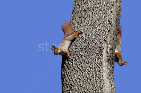 Stock photo: Two red squirrels play on tree