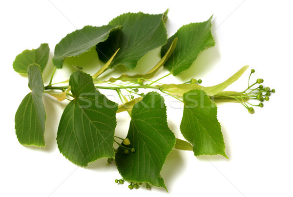 Tilia twig before blossom Stock photo © BSANI