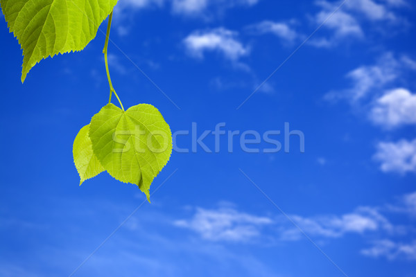 Stock photo: Spring tilia leafs and blue sky