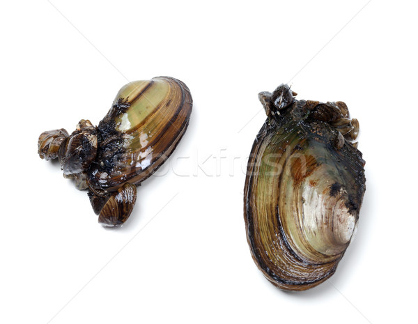 Two anodontas (river mussels) overgrown with small mussels Stock photo © BSANI