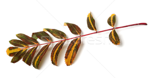 Multicolor leaves of rowan Stock photo © BSANI