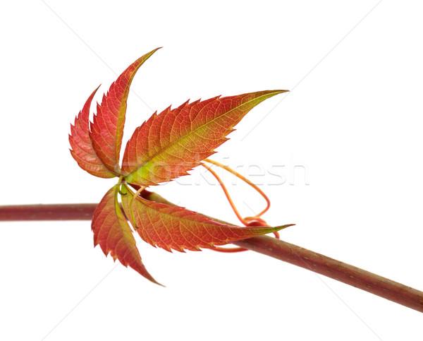 Autunno ramoscello uve foglie fogliame isolato Foto d'archivio © BSANI