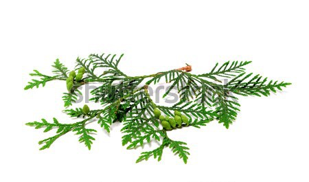 Green twig of thuja with cones on white Stock photo © BSANI