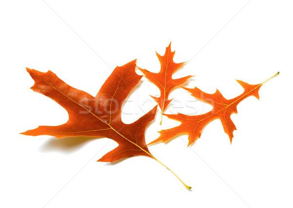 Three autumn leafs of oak Stock photo © BSANI