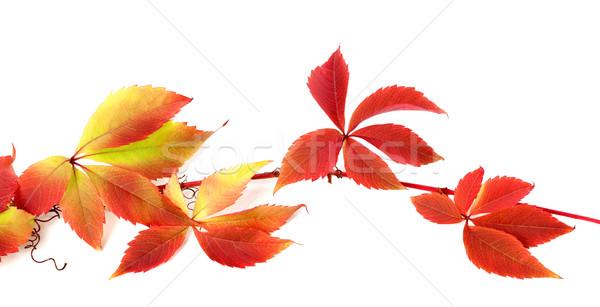 Stock fotó: Piros · ősz · ág · szőlő · levelek · lomb