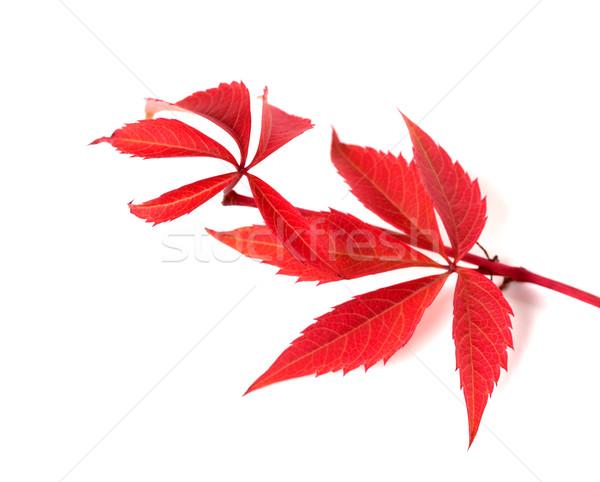 Rouge automne brindille raisins laisse feuillage Photo stock © BSANI