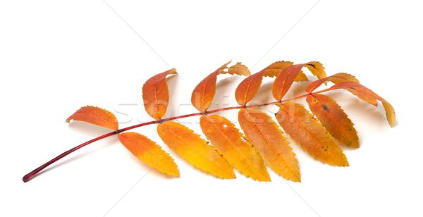 Autumn rowan leaves on white background Stock photo © BSANI