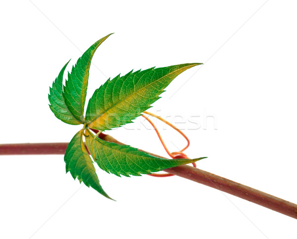 Multicolor twig of grapes leaves, parthenocissus quinquefolia fo Stock photo © BSANI