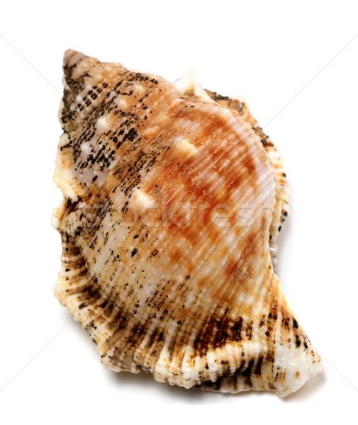 Shell of Bursa bubo (frog snail) Stock photo © BSANI