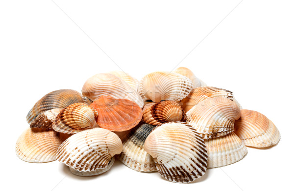 Seashells of anadara and scallop Stock photo © BSANI