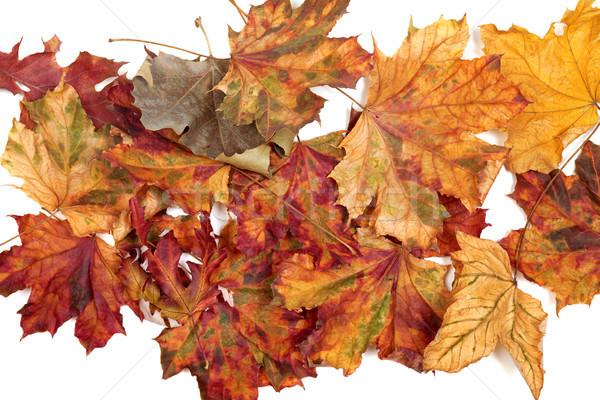 Outono secas bordo branco natureza Foto stock © BSANI