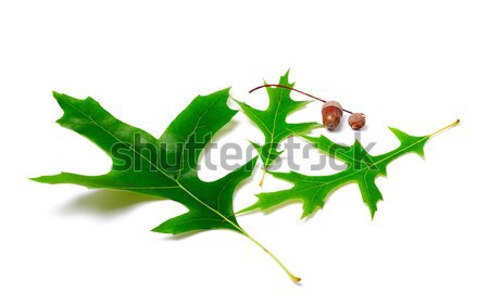 Zielone dąb drzewo żywności drewna charakter Zdjęcia stock © BSANI