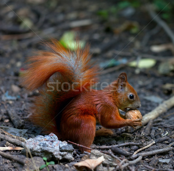 Red squirrel eat walnut in autumn forest Stock photo © BSANI