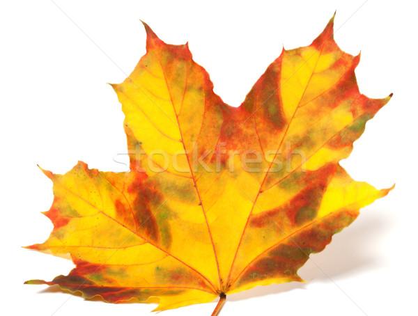 Yellowed autumn maple-leaf on white background Stock photo © BSANI