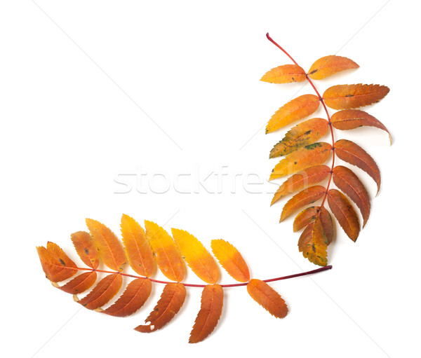 Autumnal rowan leaf isolated on white background Stock photo © BSANI