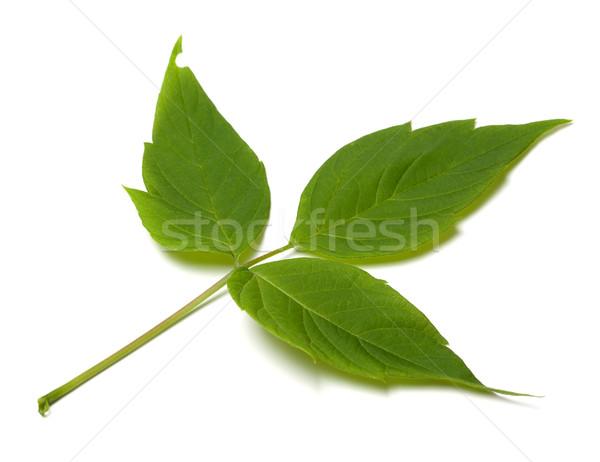 Spring acer negundo leaf Stock photo © BSANI