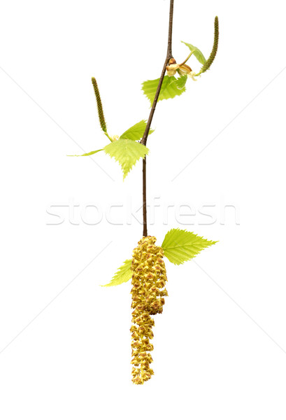 Spring twig of birch with young leaves and catkins Stock photo © BSANI