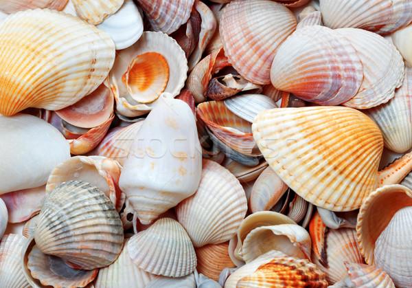 Kagylók nap nyár nap természetes tengerpart Stock fotó © BSANI