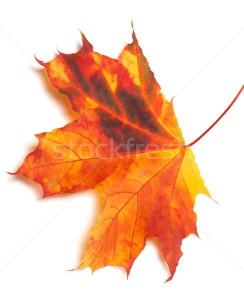 Autumn multicolor maple-leaf Stock photo © BSANI