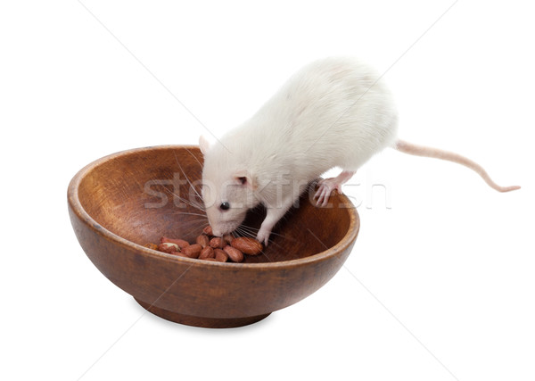 White rat eating peanuts from wooden plate Stock photo © BSANI