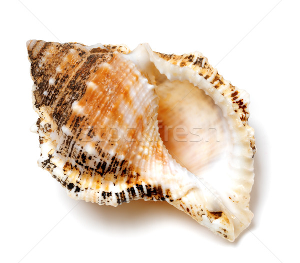 Shell of Tutufa bubo (frog snail) on white Stock photo © BSANI