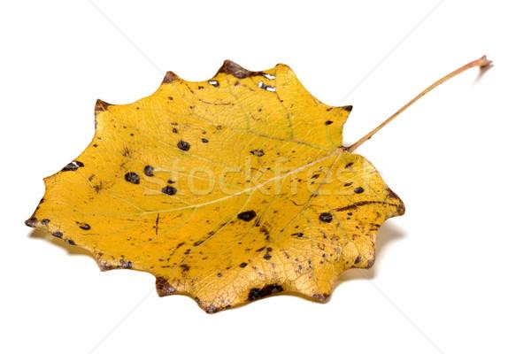 Autumn yellow quaking aspen leaf Stock photo © BSANI