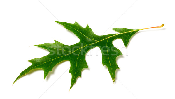 Green leaf of oak (Quercus palustris) on white background Stock photo © BSANI