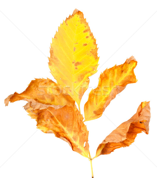 Dry yellowed autumn leaf Stock photo © BSANI