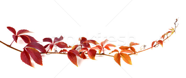 Twig of autumn multicolor grapes leaves Stock photo © BSANI