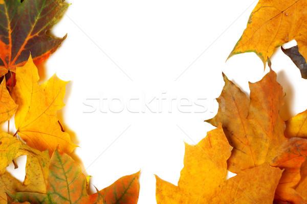 осень клен листьев изолированный белый копия пространства Сток-фото © BSANI