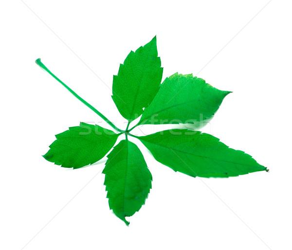 Green leaf Stock photo © BSANI