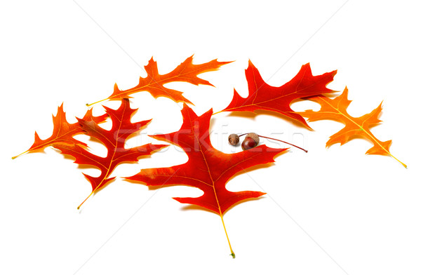 Red leafs of oak and acorns Stock photo © BSANI