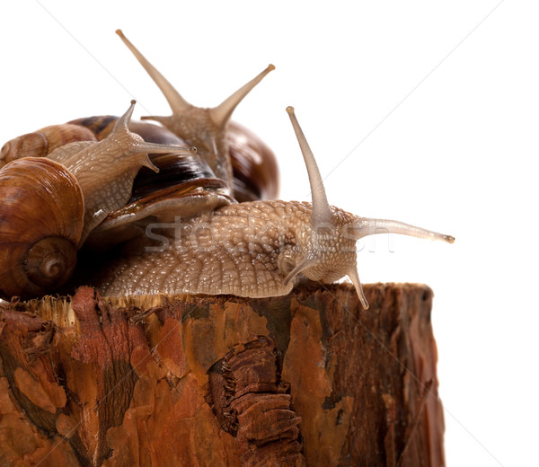 Family of snails on pine tree stump Stock photo © BSANI