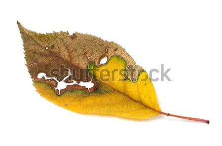 Dried yellowed autumn leaf with holes Stock photo © BSANI