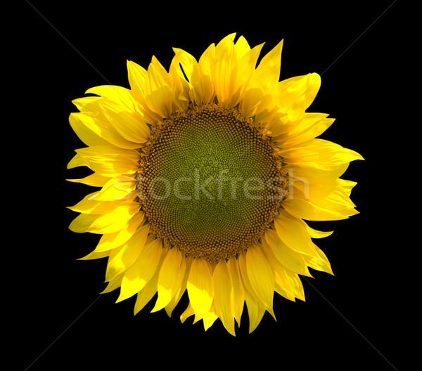 Sunflower isolated on black background Stock photo © BSANI