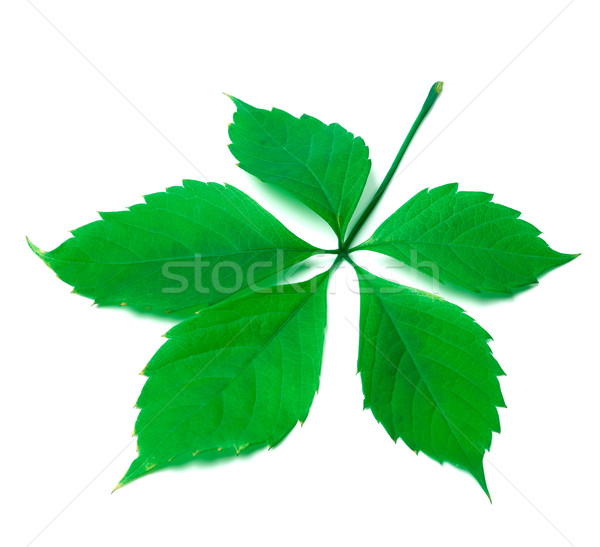 Green virginia creeper leaf on white background Stock photo © BSANI
