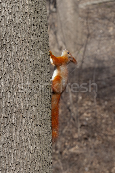 Stock photo: Red squirrels on tree