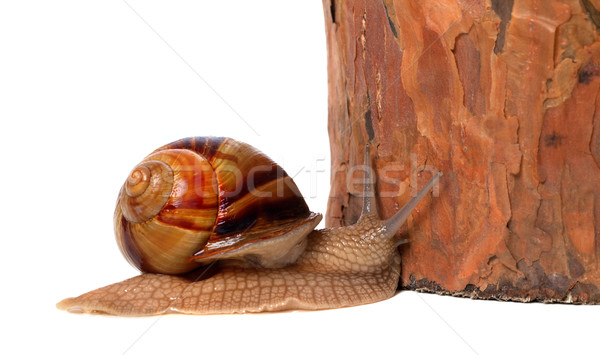 Snail and pine tree. Isolated on white background Stock photo © BSANI