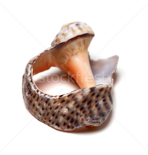 Broken shell from rapana on white background Stock photo © BSANI